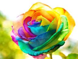 vielfarbige Rose